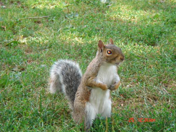 squirrel in Boston Common 2.JPG