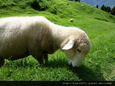 可愛的綿羊