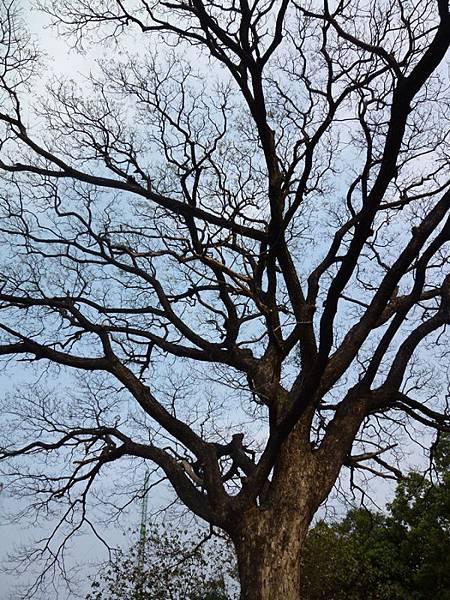 雨豆樹-1.JPG