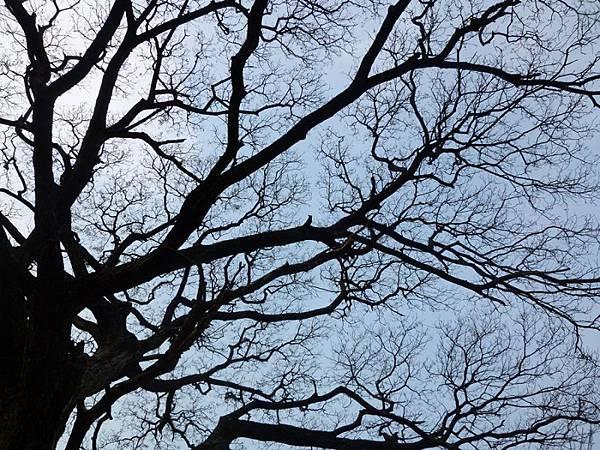 雨豆樹-2.JPG