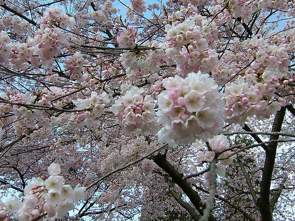 與日本同種櫻花