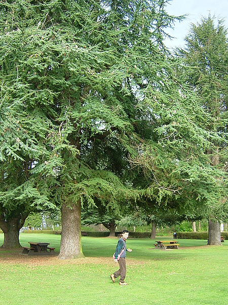 偌大的松樹