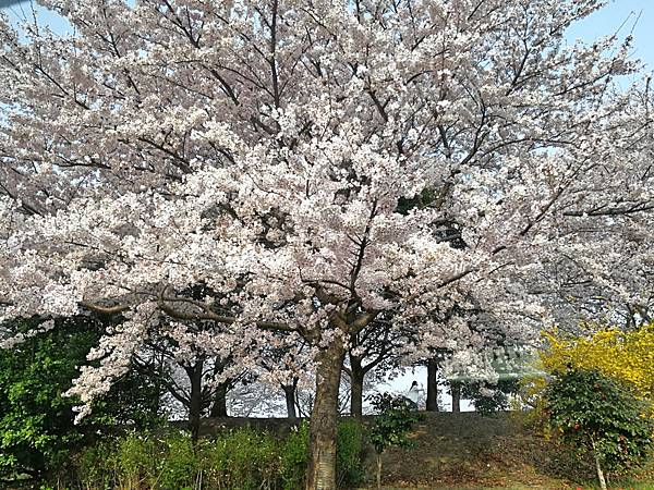 1釜山自由行Jinhae鎮海賞櫻1-12.jpg