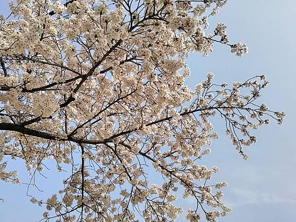 1釜山自由行Jinhae鎮海賞櫻1-26.jpg