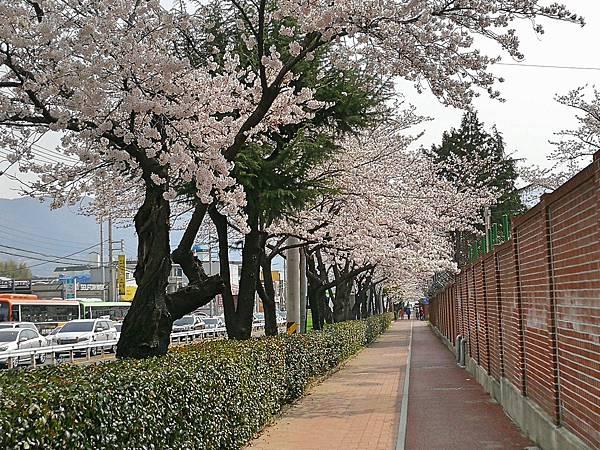 4-1釜山自由行Jinhae鎮海賞櫻2-9.jpg