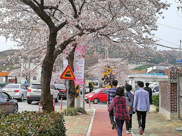 4-2釜山自由行Jinhae鎮海賞櫻2-14.jpg