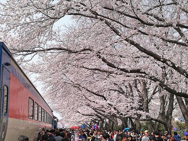 4釜山自由行Jinhae鎮海賞櫻2-5.jpg