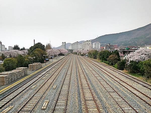 4釜山自由行Jinhae鎮海賞櫻2-8.jpg