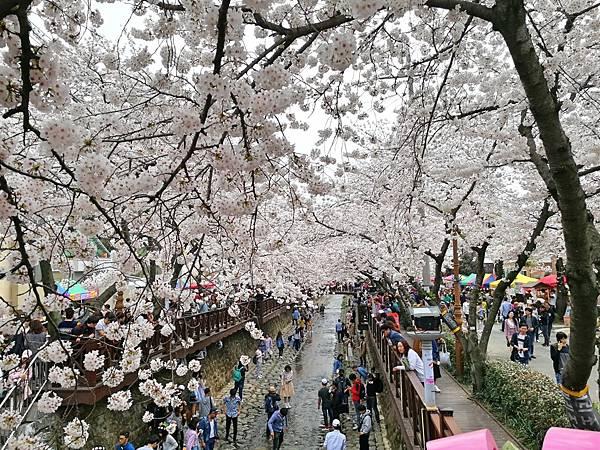 5-5釜山自由行Jinhae鎮海賞櫻2-32.jpg
