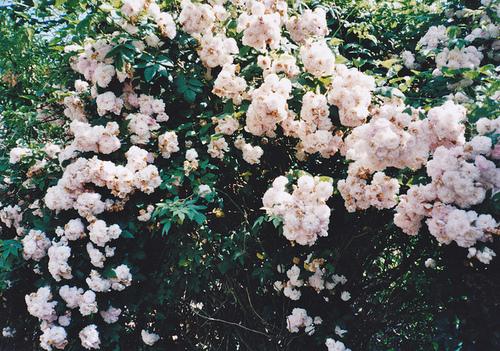 rose-bush knight cat.jpg
