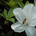 228公園的蜜蜂