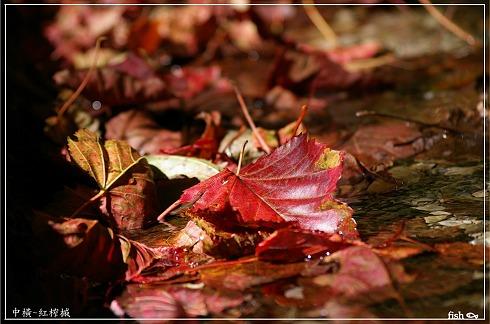 紅榨槭.jpg