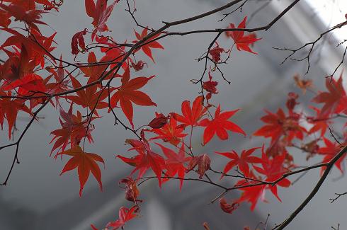 太平山 (10)深秋楓紅.JPG