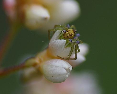 翠峰湖林道 (9)吃花蜜的蜘蛛?蟹蛛科.JPG
