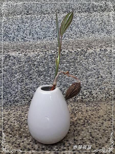 欄棕櫚水耕
