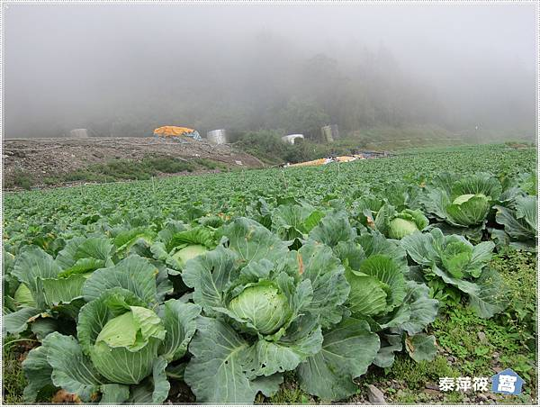 南山村高麗菜園