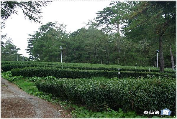 福壽山茶園