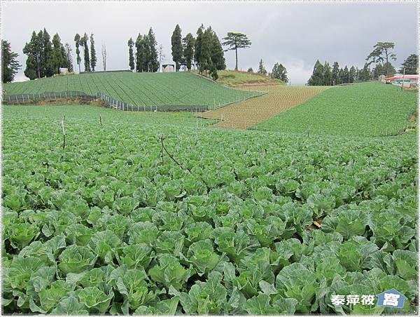 福壽山高麗菜園