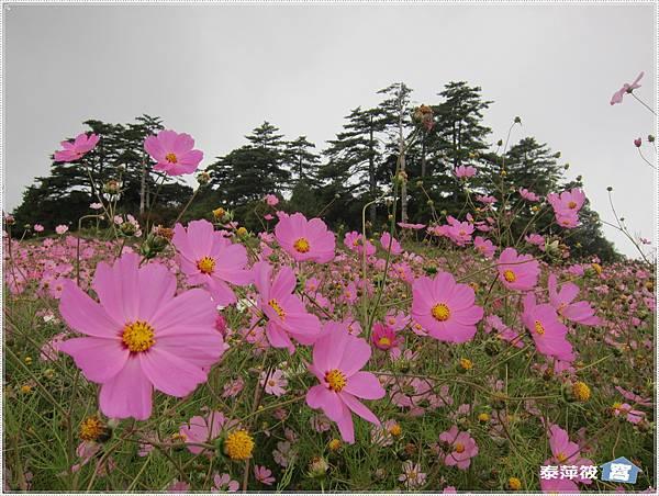 福壽山茶場波斯菊花海