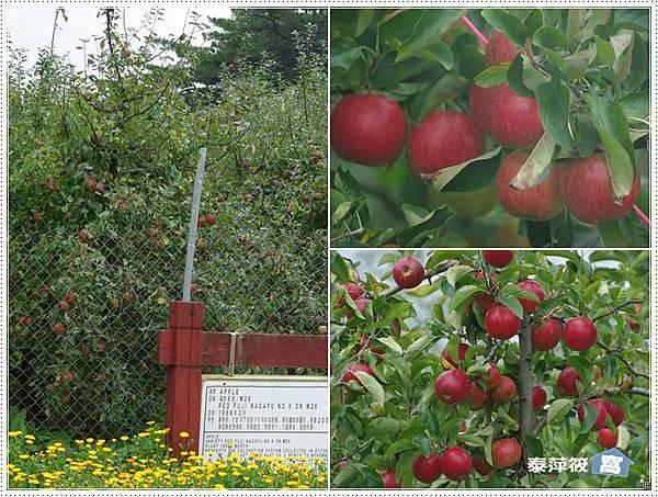福壽山茶場apple