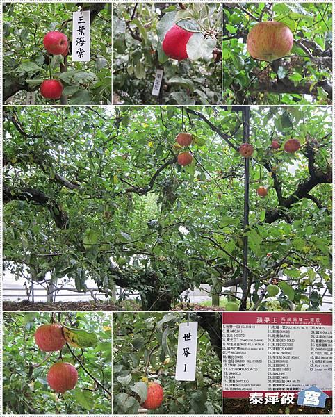 福壽山蘋果王