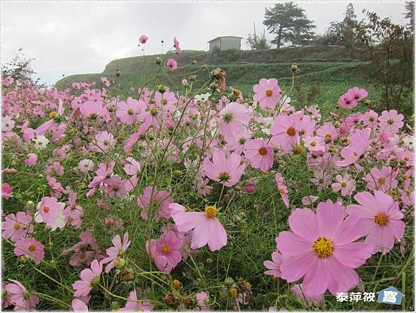 福壽山農場波斯菊