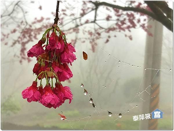 洗水山櫻花