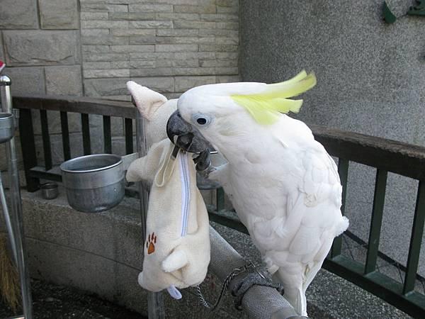 鸚鵡咬走寵物