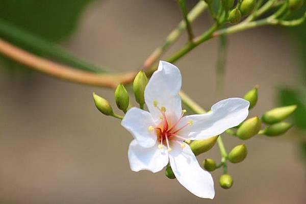 中部油桐花季