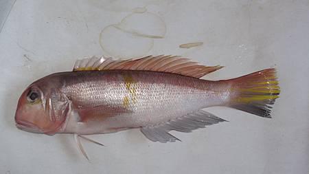 馬頭魚.JPG