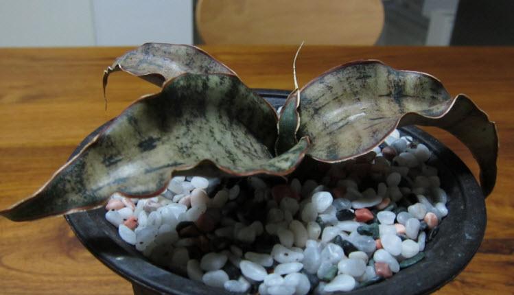 15Kirkii虎尾蘭