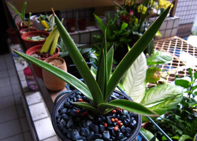 Sansevieria Arborescens_1