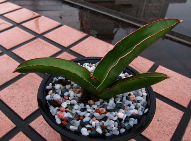Sansevieria Ehrenbergii