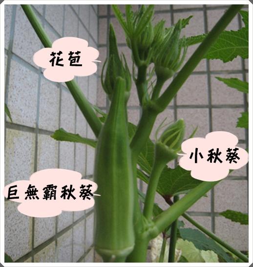 花苞與秋葵果實