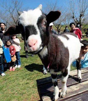Am_i_a_cow.jpg