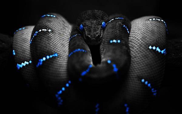 黑蛇BLACK SNAKE