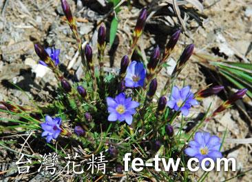 台灣花精採集-台灣藍龍膽1