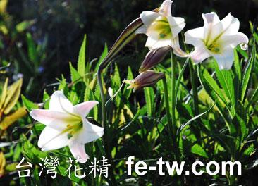 台灣花精採集-野百合花