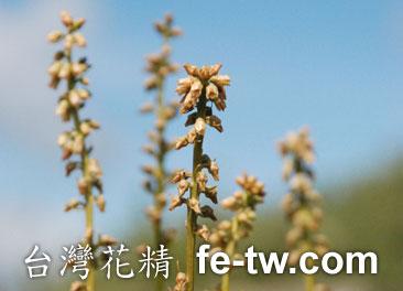 台灣花精採集-台灣粉條兒花1