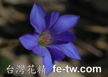 台灣花精採集-台灣藍龍膽