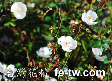 台灣花精採集-高山薔薇