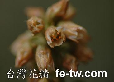 台灣花精採集-台灣粉條兒花