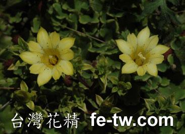 台灣花精採集-台灣黃龍膽