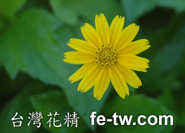 台灣花精採集-蟛蜞菊