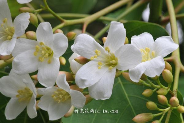 FA061油桐花