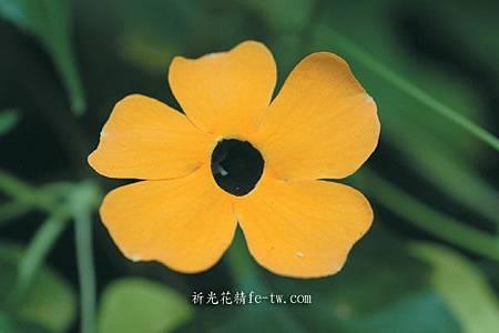 FA017黑眼花
