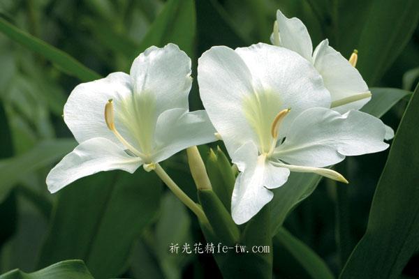 FA003野薑花