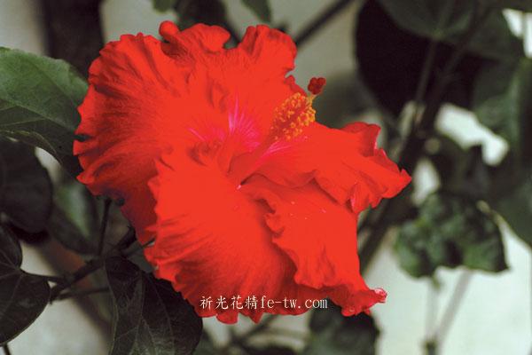 FA023大扶桑花