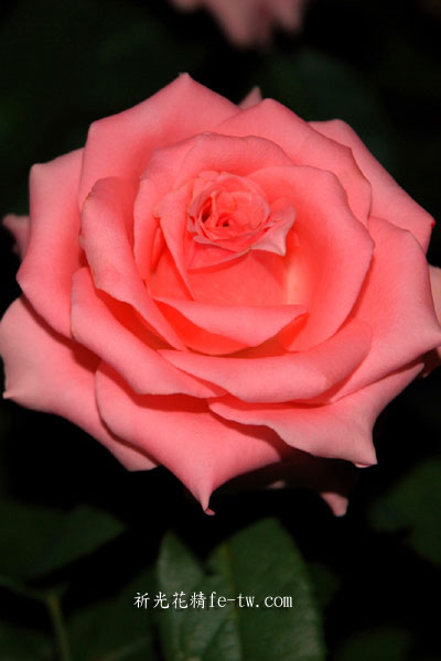 FB002粉紅玫瑰花