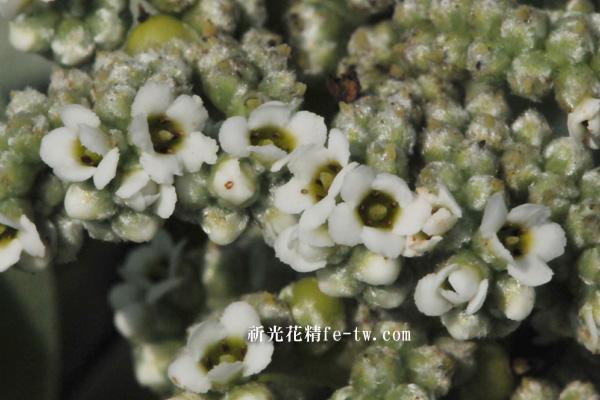 FA086白水木花
